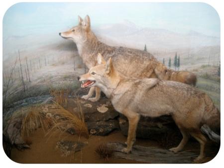 Pioneer_Coyote